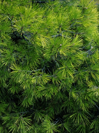 Close-up of Christmas pine fir tree branches background  Background of Christmas tree branches  Stock Photo - 23480727