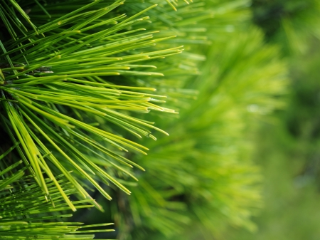 Close-up of Christmas pine fir tree branches background  Background of Christmas tree branches