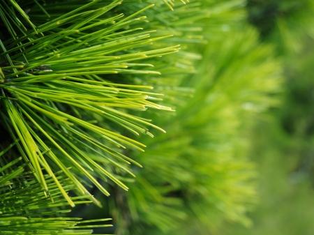 evergreen branch: Primer plano de la Navidad del pino abeto ramas de fondo de fondo de ramas de �rboles de Navidad