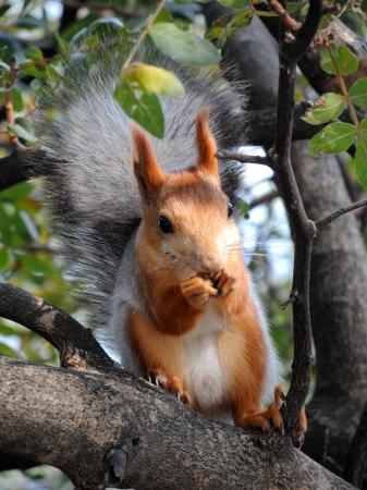 Eurázsiai vörös mókus eszik a fán