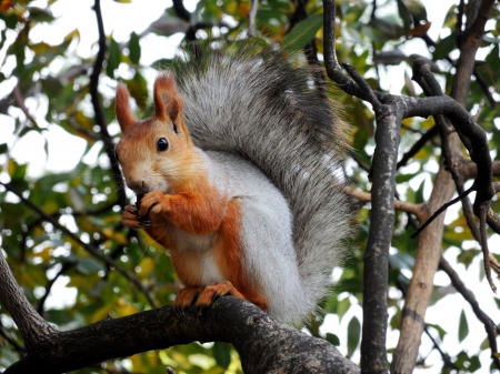 Eurasian red squirrel eating on the tree