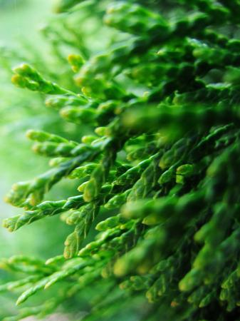 Close-up of Christmas pine fir tree branches background. Background of Christmas tree branches. Foto de archivo