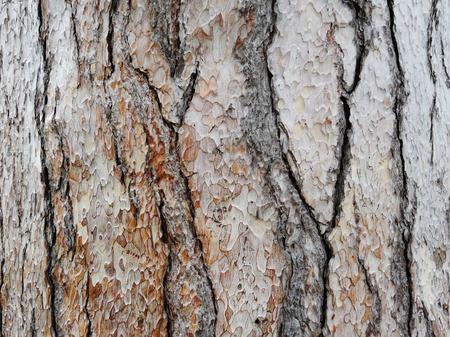 Bark of pine tree trunk texture background. Stock Photo