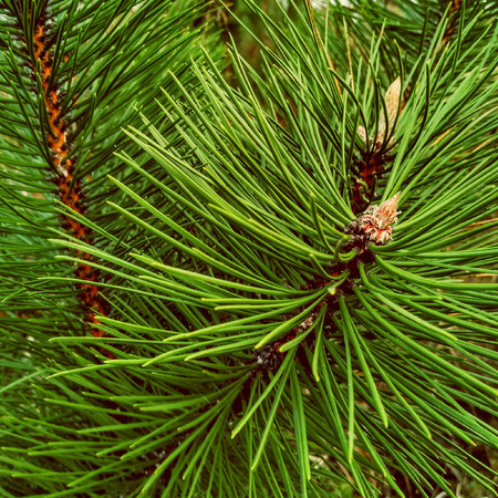 Close-up of Christmas pine fir tree branches background. Background of Christmas tree branches. Stock Photo