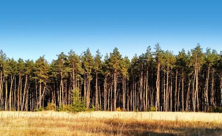 Pine forest under deep blue sky. Autumn landscape.