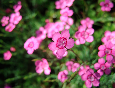 Beautiful spring floral background with Blooming carnation flowers. Pink carnation flowers on grass background. Foto de archivo