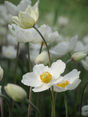 White spring flowers on green background. Foto de archivo