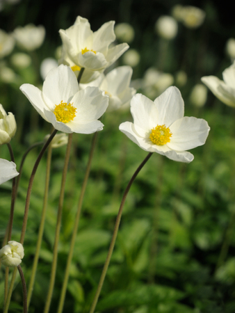 White spring flowers on green background. Stock Photo