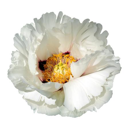 White peony flower isolated on white background.