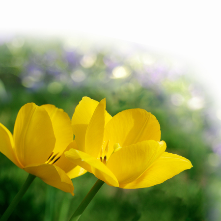 Beautiful spring floral background with yellow tulips on grass background. Stock Photo
