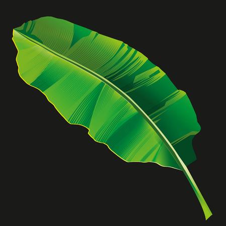 Banana leaf vector isolated on black background.