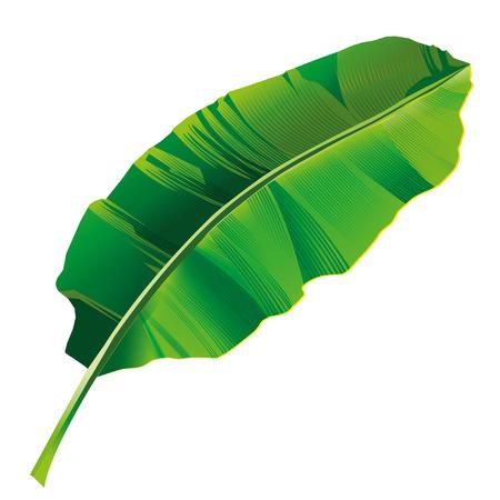 Banana leaf vector isolated on white background.