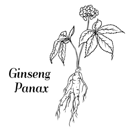 Root and leaves panax ginseng. Vector black and white engraving vintage illustration of medicinal plants. Biological additives are. Healthy lifestyle Ilustração