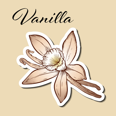 Vanilla pods and flower isolated in engraved style. Vanilla hand drawn sketch vector illustration on beige. Vanilla stick. Dessert spice in vintage style. Doodle design cooking ingredient