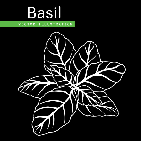Hand drawn isolated  basil leaves on black  background.  Herbal Ingredient for traditional cuisine, medicine, treatment, cooking, gardening. Engraved style vector illustration.  Green organic, eco herb
