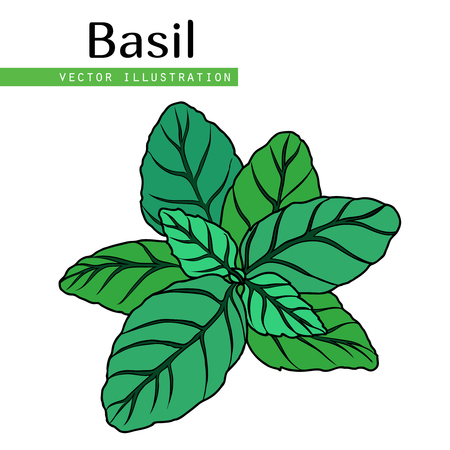 Hand drawn isolated  basil leaves on white background.  Herbal Ingredient for traditional cuisine, medicine, treatment, cooking, gardening. Engraved style vector illustration.  Green organic, eco herb Illustration
