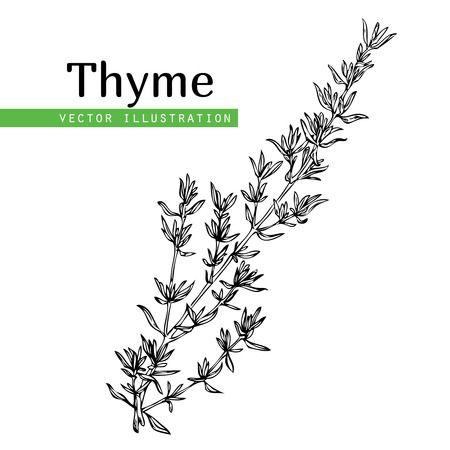 Hand drawn thyme  plant with leaves isolated on white background. Vintage  spicy herbs sketch.  Doodle cooking ingredient, seasoning.  Herbal engraved style vector illustration. Italian cuisine Banco de Imagens - 75973528
