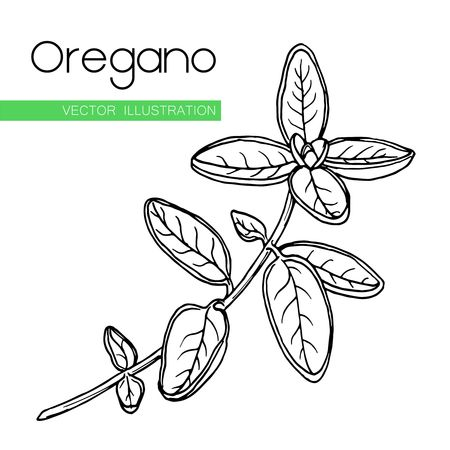 Vector hand drawn oregano illustration. Vintage  flower sketch. Isolated Oregano plant with leaves. Herbal engraved style spice  illustration. Organic product. Cooking spicy ingredient. Vegan food.