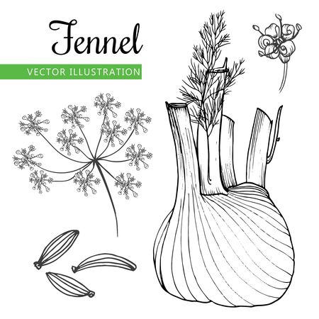 prepare: Fennel root and seeds. Hand drawn sketch vector illustration isolated on white background.  Doodle design cooking ingredient.  Seasoning spice herb.  Product to prepare delicious and healthy food.