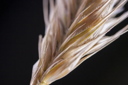 macrophotography: Close up photo of a cereal plant - rye Stock Photo