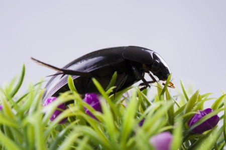 geotrupes: Close up photo of the small black insect - the beetle on the green grass. Stock Photo