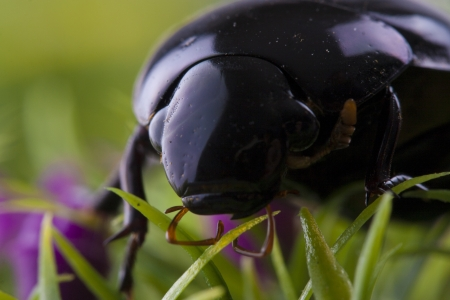 Close up photo of the small black insect - the beetle on the green grass. photo