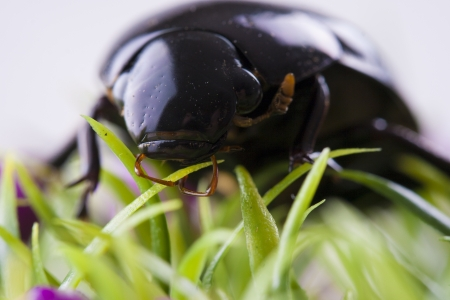 stercorarius: Close up photo of the small black insect - the beetle on the green grass. Stock Photo