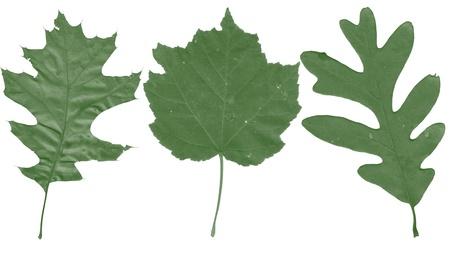venation: Green leafs texture Stock Photo