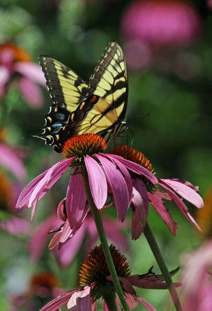 Butterfly on coneflower Stock Photo