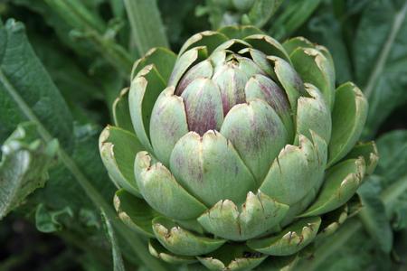 Artichoke in vegetable garden