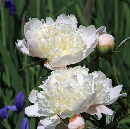 cream peonies and blue flag iris