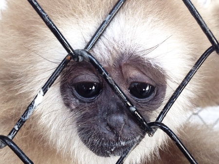eyes looking down: Gibbon sad