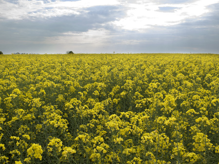 biodiesel plant: the yellow field on blue sky background Stock Photo
