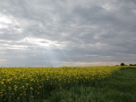 biodiesel plant: Rapeseed field under thunderclouds
