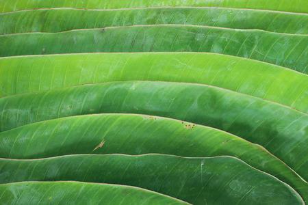 sanguine: Banana leaf
