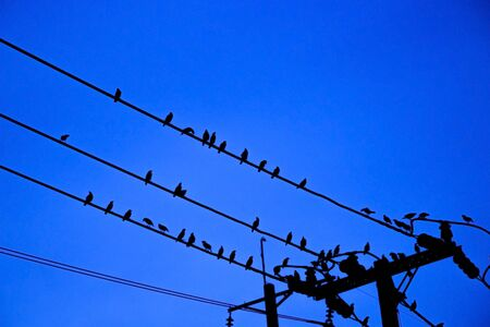 Many small birds cling on electric poles and power lines with the blue sky background in the evening and relax freely. Natural animal life in large cities