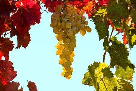 A bunch of white grapes in the frame of red and green leaves