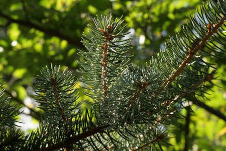 Spruce branch photo