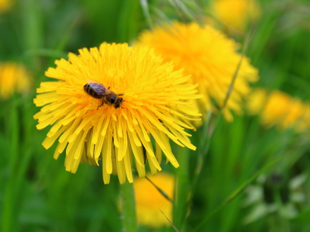bee collecting nectar from a dandelion close-up Stock Photo
