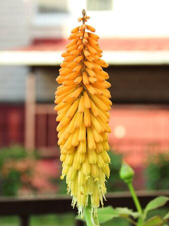 Flower Kniphofia close-up blurred background