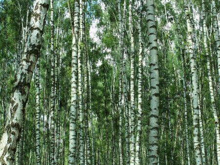 birch grove forest texture background