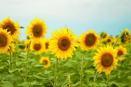 closeup of sunflowers photo