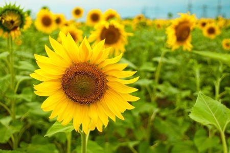 sunflower closeup in the field photo