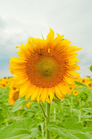 sunflower in the field photo