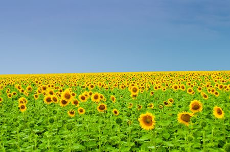 field full of sunflowers photo