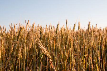 summer wheat field photo