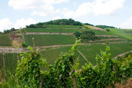 vineyard in german mountains photo