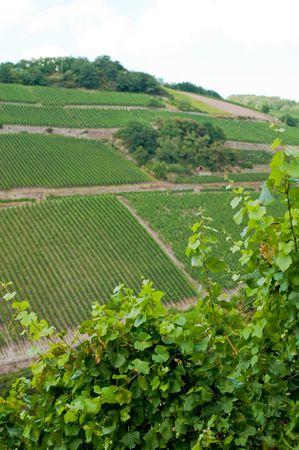vineyard in german mountains photo