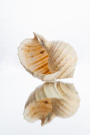 saltwater pearl: shellfish