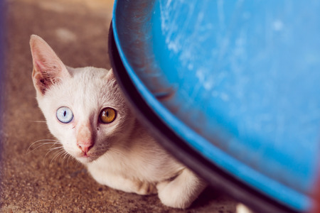 Two colored eyed cat photo